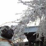 東郷寺のさくらなの。えへ。きれーでしょ。